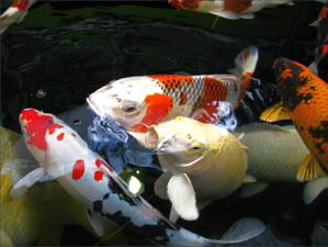 Ryby do jezírka praha